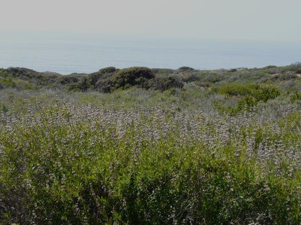 Salvia mellifera, Black sage along the coast
