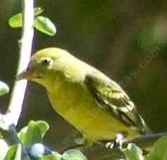 female tanager video pictures photos