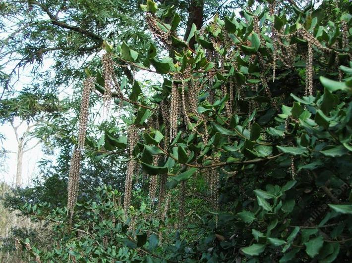Garrya elliptica 'James Roof' - Coast Silk Tassel, the male flowers, catkins, can be a foot long on an interesting bush that can be wonderful hedge.