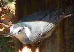 The White-breasted nuthatch is not a long distance migrant