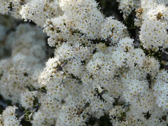 Ceanothus rigidus Snowball in flower. Picture a fruit orchid in full flower, but only a meter tall.