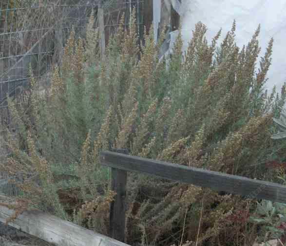 California Sage brush, Artemesia californica