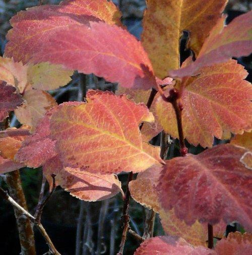 Crataegus douglasii, Western Thorn Apple fall leaves