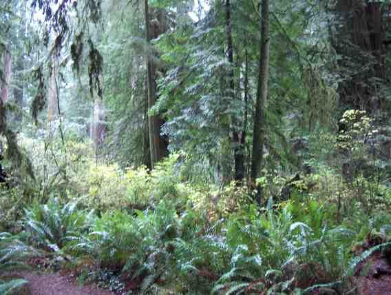 California redwood forest with understory