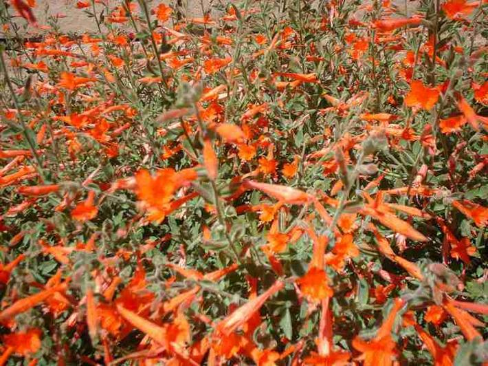 California fuchsia, aka, Zauschneria californica mexicana, AKA Epilobium canum mexicanum flowers growing on a foot high suckering ground cover. California fuchsia likes to be mowed to the ground in January.