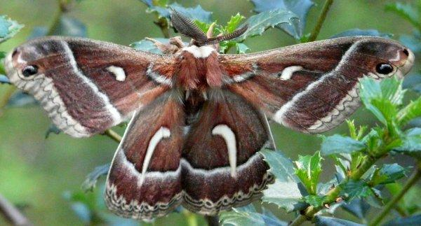 Ceanothus silkmoth