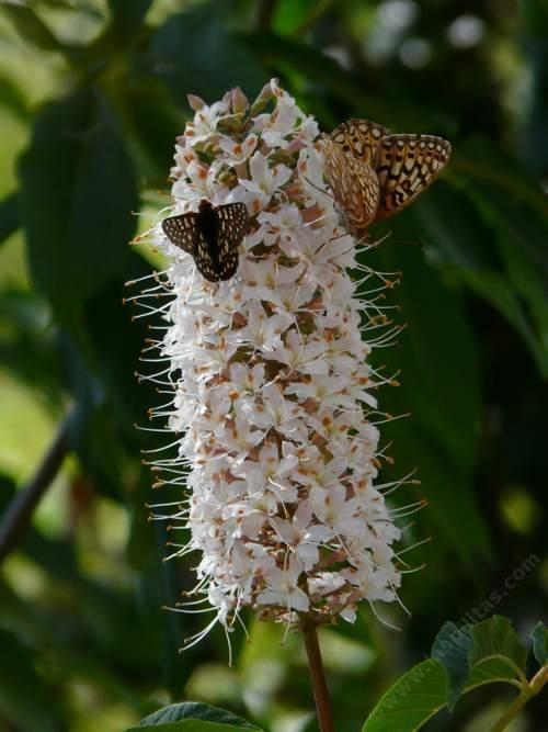 Aesculus californica Buckeye