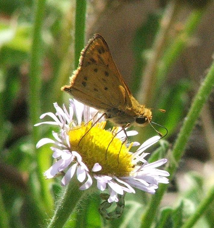 Hylephila phyleus Fiery Skipper