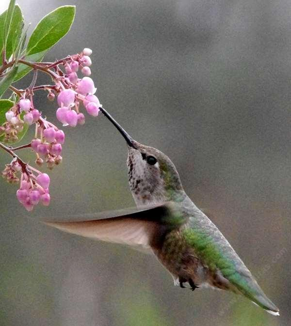 Anna hummingbird on Arctostaphylos Baby Bear manzanita flowers