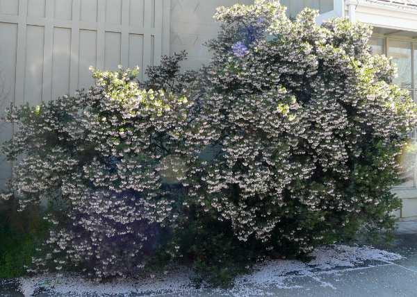 Arctostaphylos densiflora, Sentinel Manzanita works well as a low hedge or foundation plant.