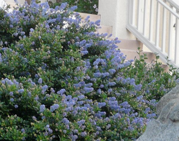 Ceanothus Joyce Coulter in a San Francisco garden.
