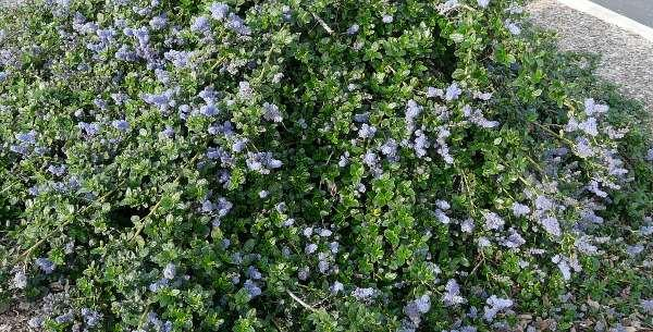 Ceanothus Yankee Point in a parking lot. This is probably the most popular ground cover in California.