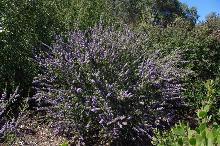 Ceanothus Blue Jeans is fairly safe from deer and makes a decent small hedge.