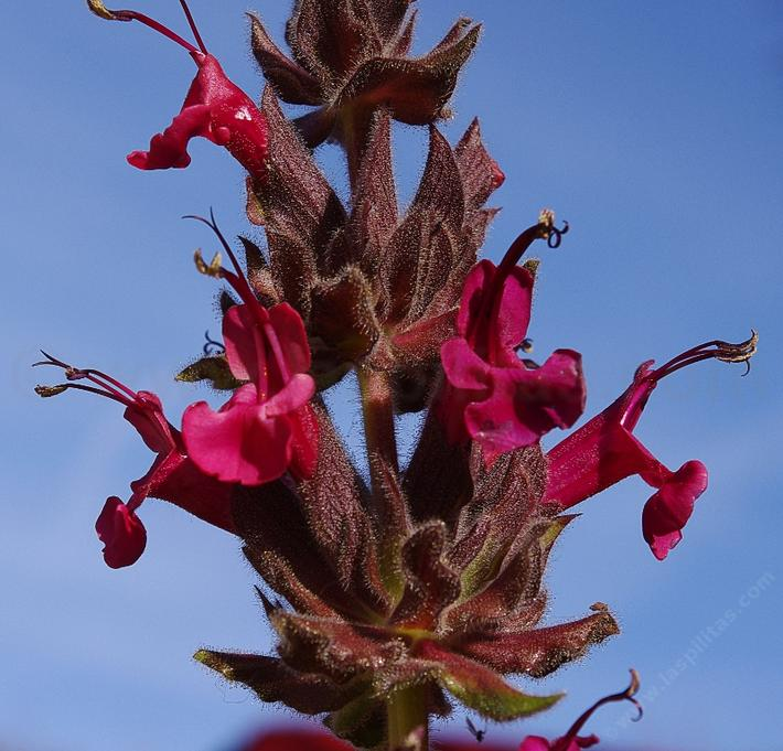 Salvia spathacea, Hummingbird Sage, don't the flowers  look edible?