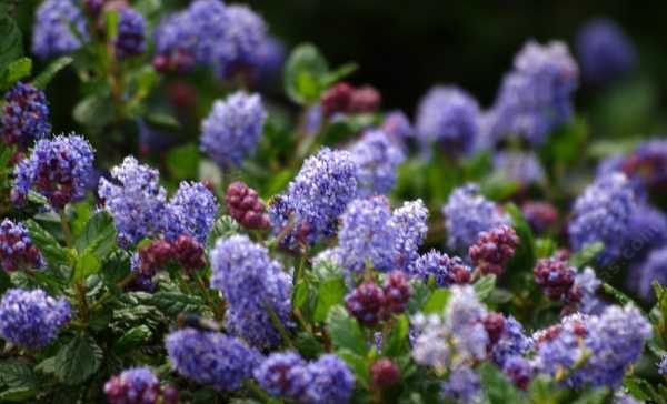Ceanothus Celestial Blue has both blue and red flowers. This mountain lilac has dark green foliage.