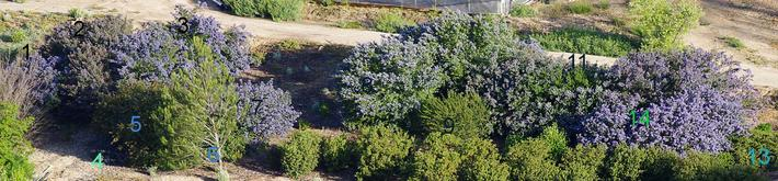 A planting of Ceanothus, Mountain lilacs.