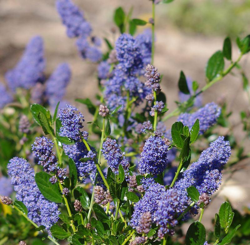 Ceanothus Thyrsiflorus Skylark Blue Mountain Lilac