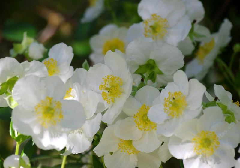 Bush Anemone Carpenteria Californica Is A Nice Clean That Explodes Into Flower Try