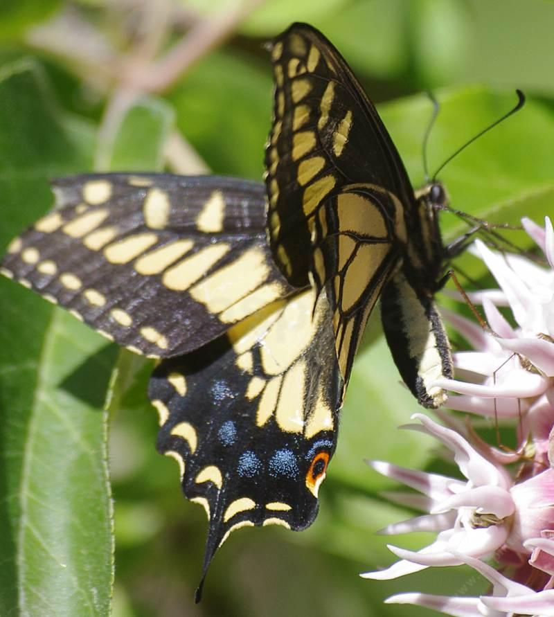 Anise Butterfly on Asclepias specosus - grid24_24