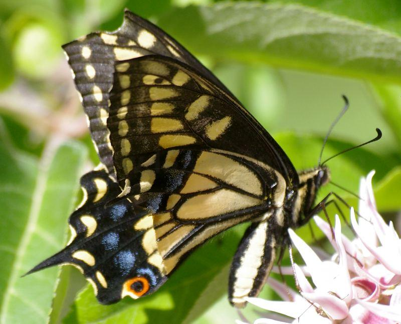 Anise buttefly, sad that they named the butterfly after a WEED. - grid24_24