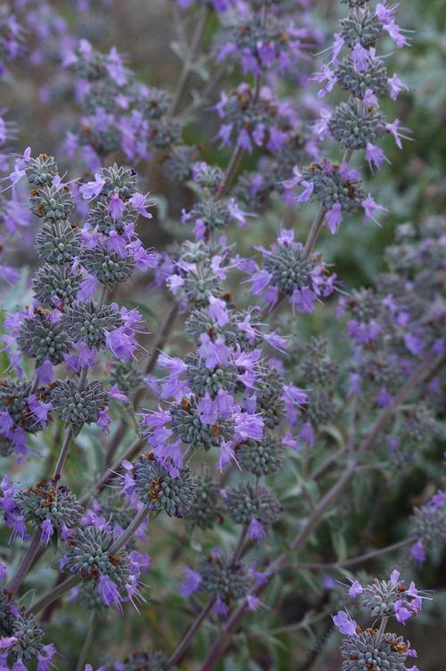 Sages salvias photos videos and descriptions of the for Purple flower shrub california