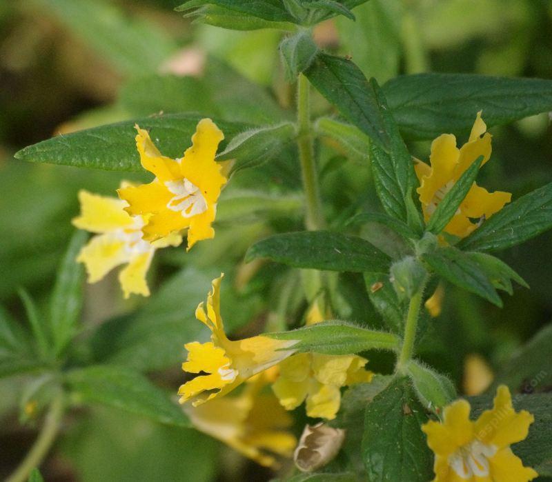 Monkey flowers for california gardens diplacus longiflorus topanga monkey flower mightylinksfo