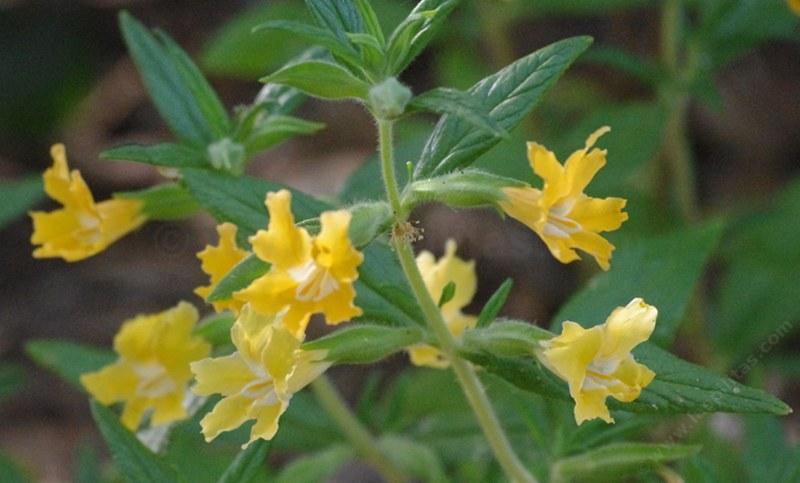 Monkey flowers for california gardens diplacus aurantiacus sierra monkey flower mightylinksfo