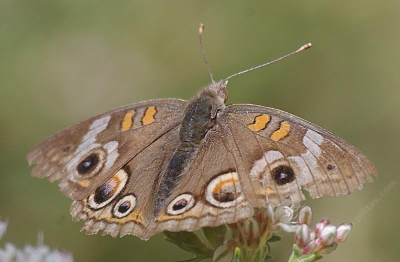 A Buckeye butterfly resting on a buckwheat. - grid24_24