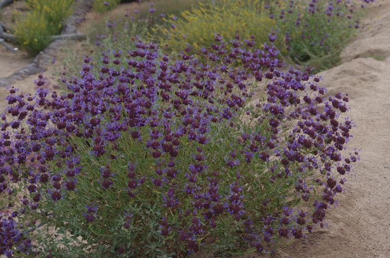 Salvia Celestial Blue Purple Sage