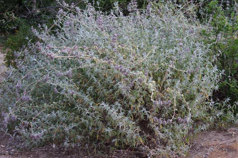 A couple of seasons after pruning  the Purple Sage is back in full shape. - grid24_24