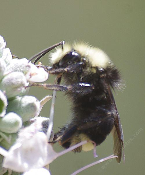 Bumble Bees And Other California Native Bee Species