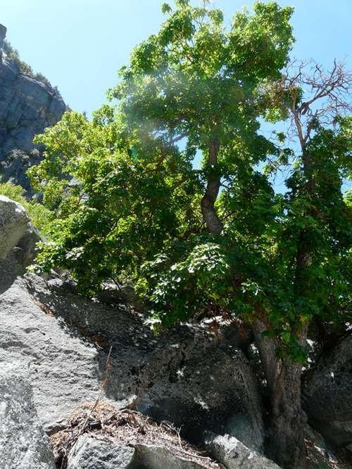 native trees of california