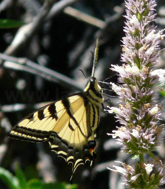 Western Tiger Swallowtail Butterfly, Papilio Rutulus On