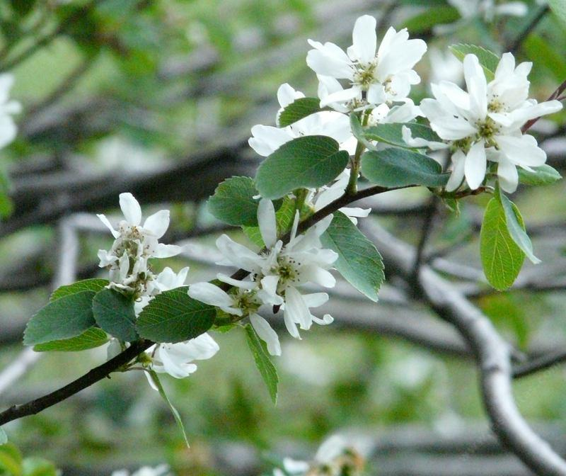 Amelanchier utahensis utah service berry this utah service berry actually was in the sierras but native throughout most of california mountains altavistaventures Gallery