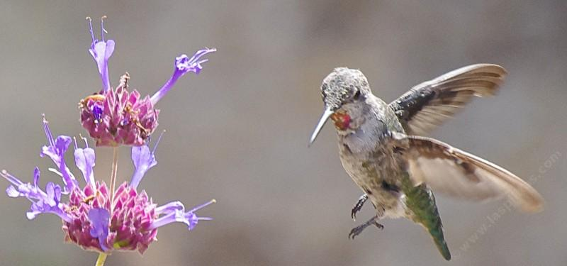 How To Create A California Hummingbird Garden With Native Flowers Pictures Of Both And Erfly Species