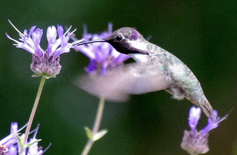 Costa S Hummingbird Calypte Costae