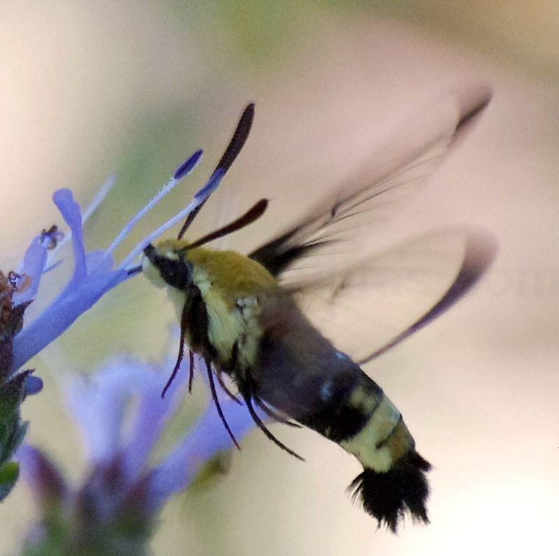 A side view of a Bumblebee or Hummingbird moth. - grid24_24