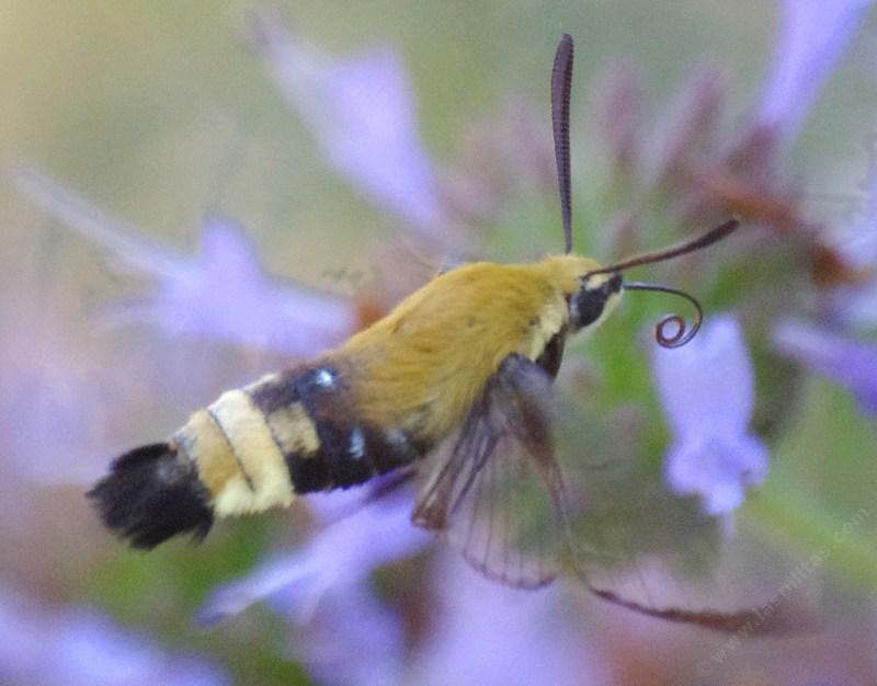 A Bumblebee Moth or Snowberry Clearwing, Hemaris sp.  working a Salvia clevelandii Alpine flower. When he flies between flowers the tongue is rolled. These moths used to be out at night all over Southern California. Imagine going out in the evening in Santa Barbara or Los Angeles and finding a Bumblebee moth working the flowers. - grid24_24