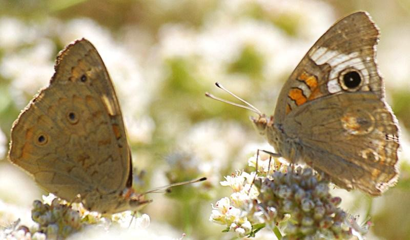A female and male Buckeye Butterfly, Junonia coenia messing around on a California buckwheat, or buckwheat for the buckeyes. - grid24_24