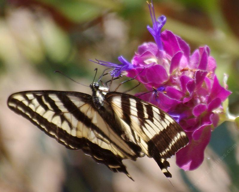 A Swallowtail with a bite out of it's wings sipping the flowers of Salvia pacyphylla, Rose sage. - grid24_24