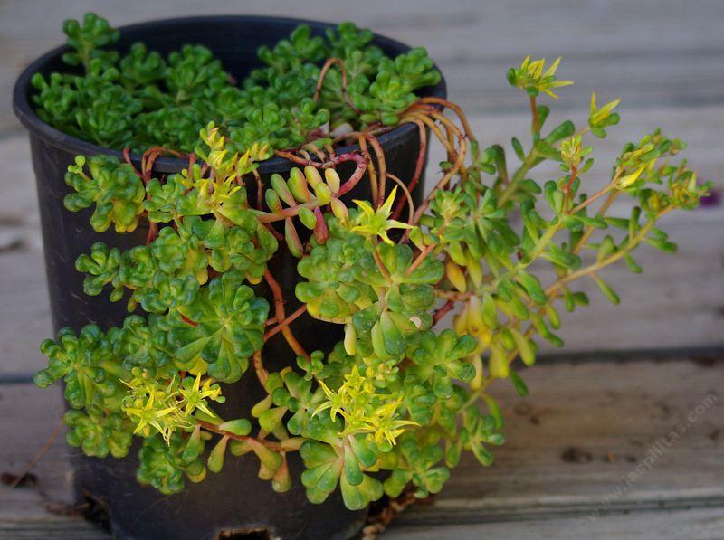 Sedum oreganum green stonecrop sedum oreganum mightylinksfo