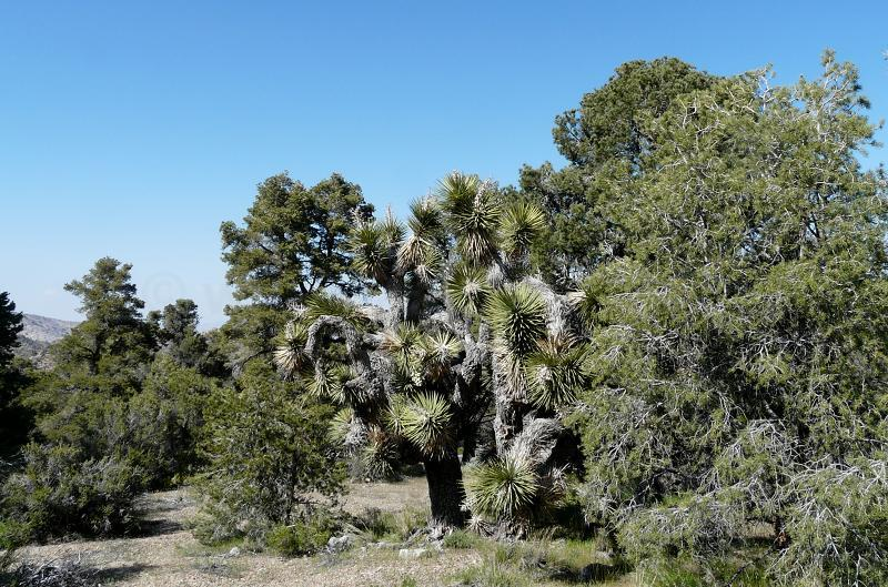 This is an area north of Big Bear where the Joshua tree woodland and Pinyon Juniper Woodland meet. Pinus monophylla,    Juniperus californica and Yucca breviflora. - grid24_24