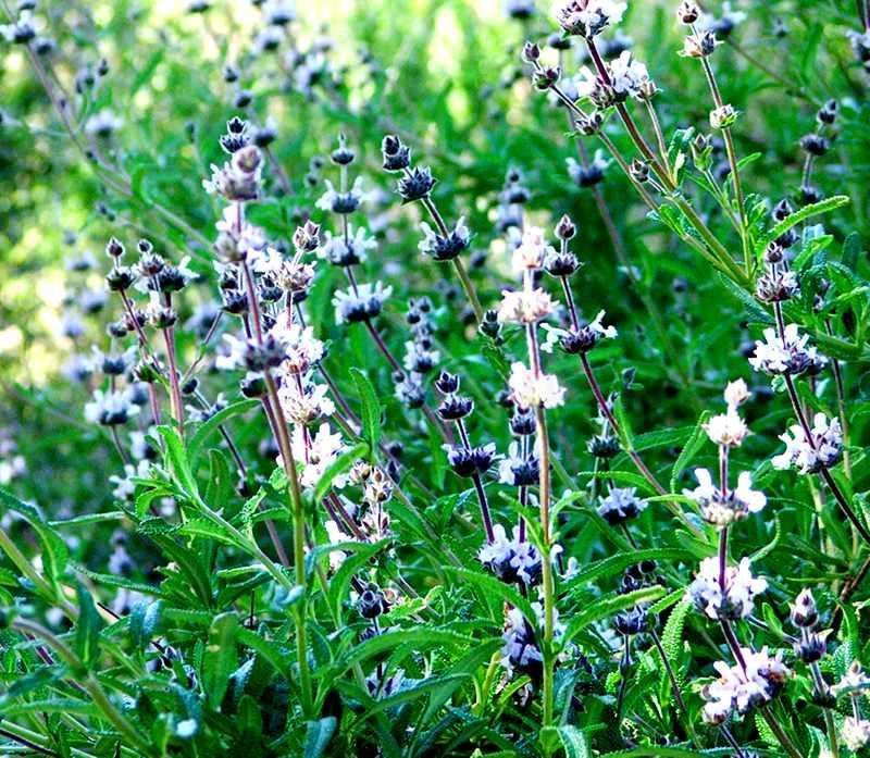 Salvia Mellifera Repens Creeping Black Sage