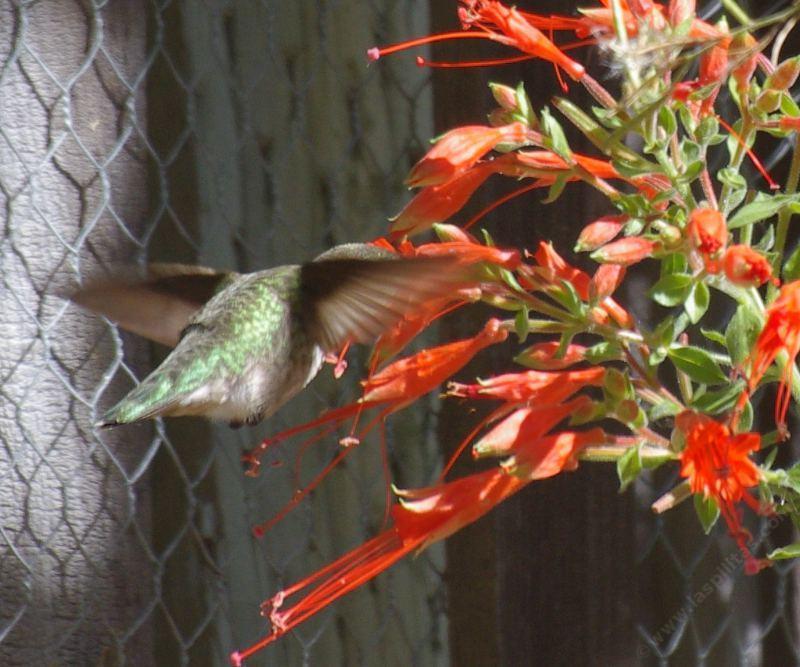 How to create a california hummingbird garden with native flowers anna hummingbird on a zauschneria latifolia johnstonii california fuchsia grid2412 mightylinksfo