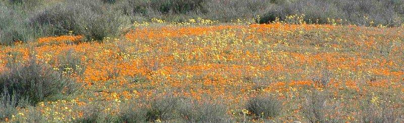 These wildflowers were along hwy. 58 out by La Panza. - grid24_24