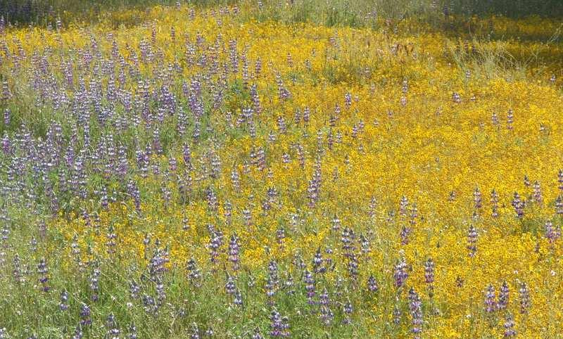 Field lupines and Goldfieilds are common wildflowers in the central oak woodland. These little annuals act to hold the system together until the shrubs and trees can file in. They are the first level of section. - grid24_24