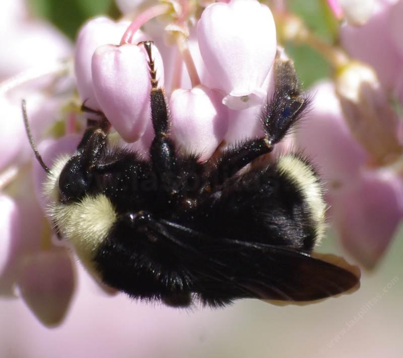 Side View Of Yellow Faced Bumble Bee Bombus Vosnesenskii On One Our Arctostaphylos