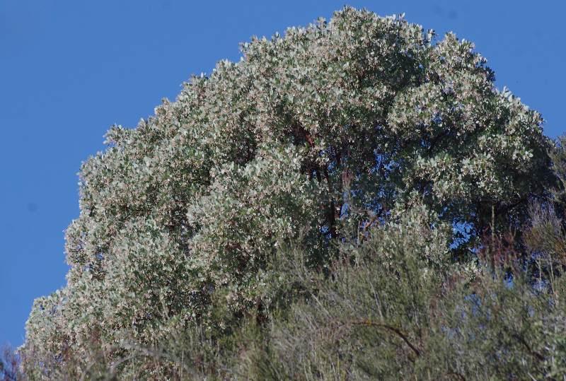 Arctostaphylos Glauca Big Berry Manzanita