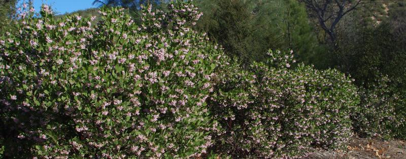 A hedge of Arctostaphylos Austin Griffin will grow to about 10 ft. tall and  12