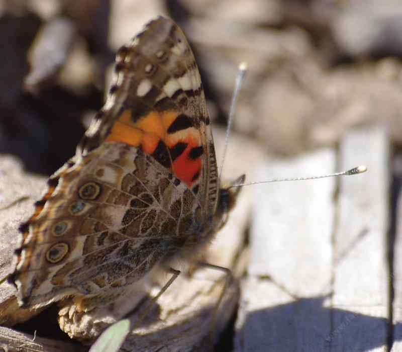 Vanessa cardui , Painted Lady in January probably just after  emerging, side view. - grid24_24